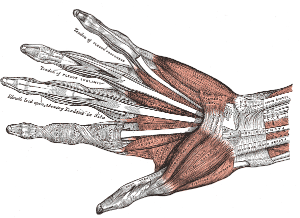 The human hand anatomy, public domain illustration